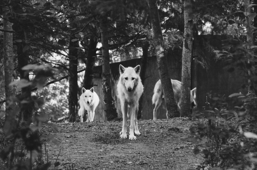 Bushcraft - der Wolf ist zurück