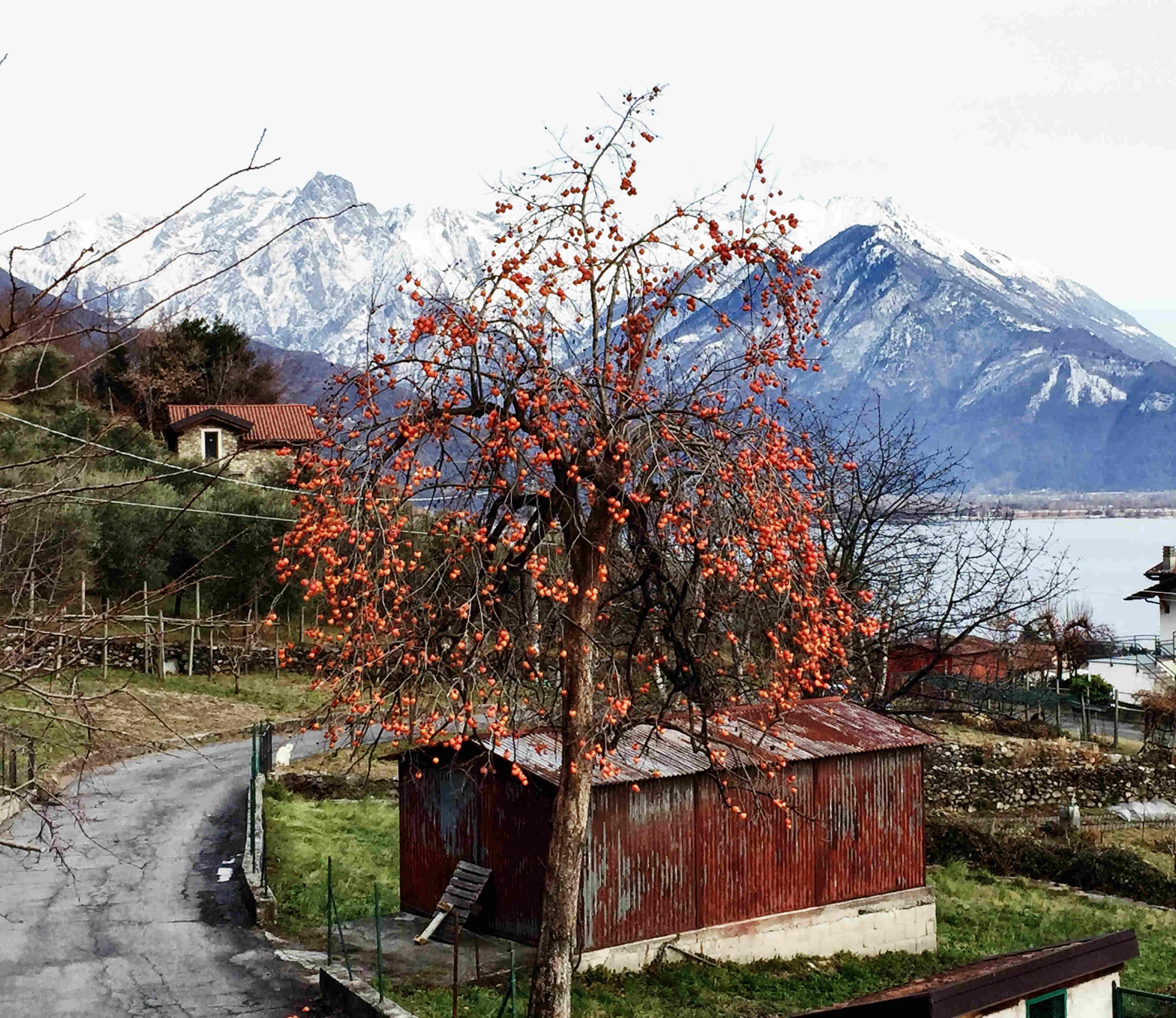 Comer See im Winter: Ein Mandarinenbaum im Dezember vor verschneiter Bergkulisse